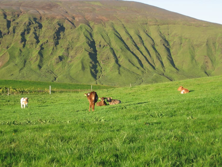 Small calfs on the fields