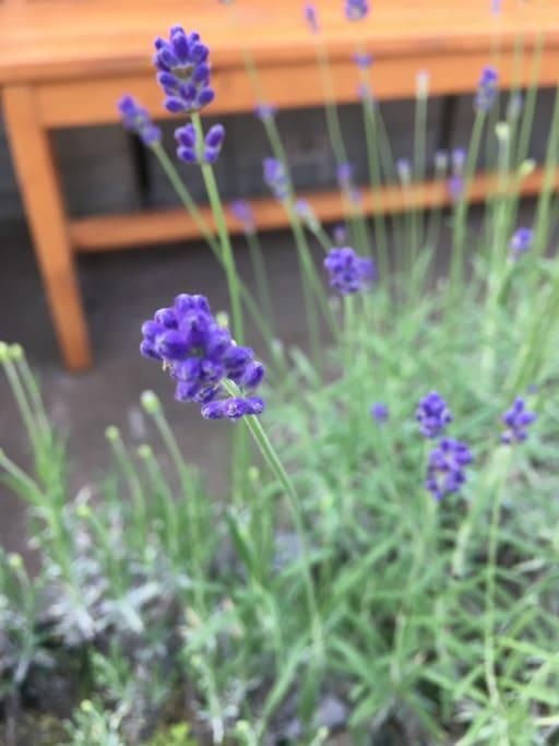 Lavender in Furano