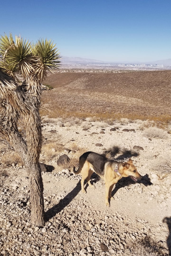 Scout on the trail with a Joshua tree