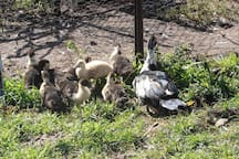 We often have baby ducks