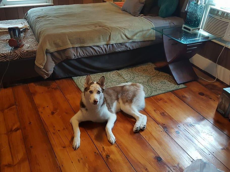 Lyla, the friendly husky.