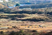 Zuid-Kennemerland National Park in autumn and a heard of Shetland ponies. At 2.5km from the cottage you will find the Entry of the National Park