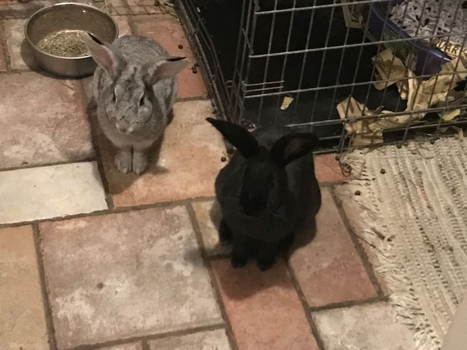 Oliver(Marshmallow) and Maurice. House bunnies. With crate. They are hilarious.