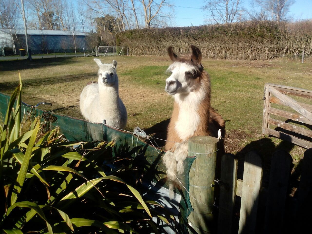 The Llama are waiting to greet you!