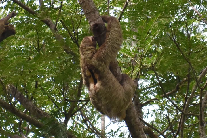 A Three-toed Sloth in a tree just out front.
