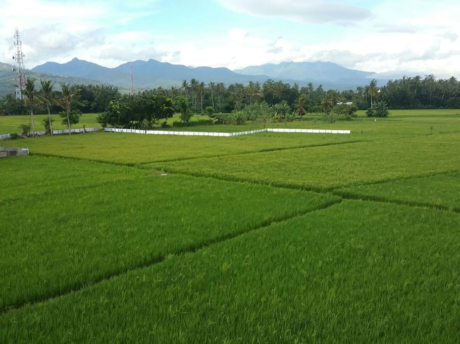 peaceful green paddy fields