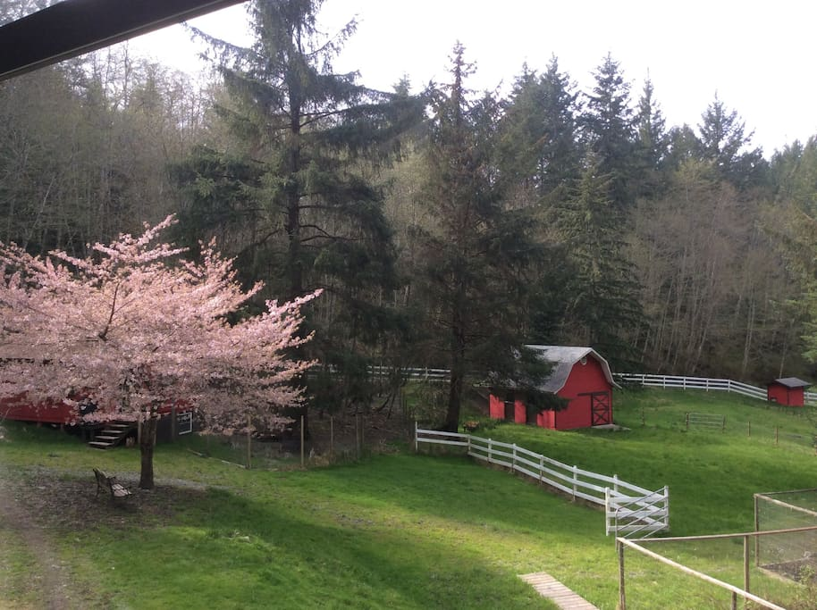 Cherry Blossoms and Barn