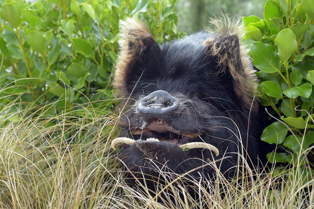 Meet dotcom, he's our lovely kunekune pig who is really part of the family