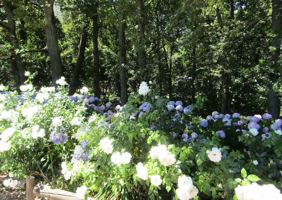 Roses and Hydrangeas in bloom