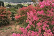 crape myrtle hill . There are 1300 trees サルスベリの丘には1300本が植わっています。