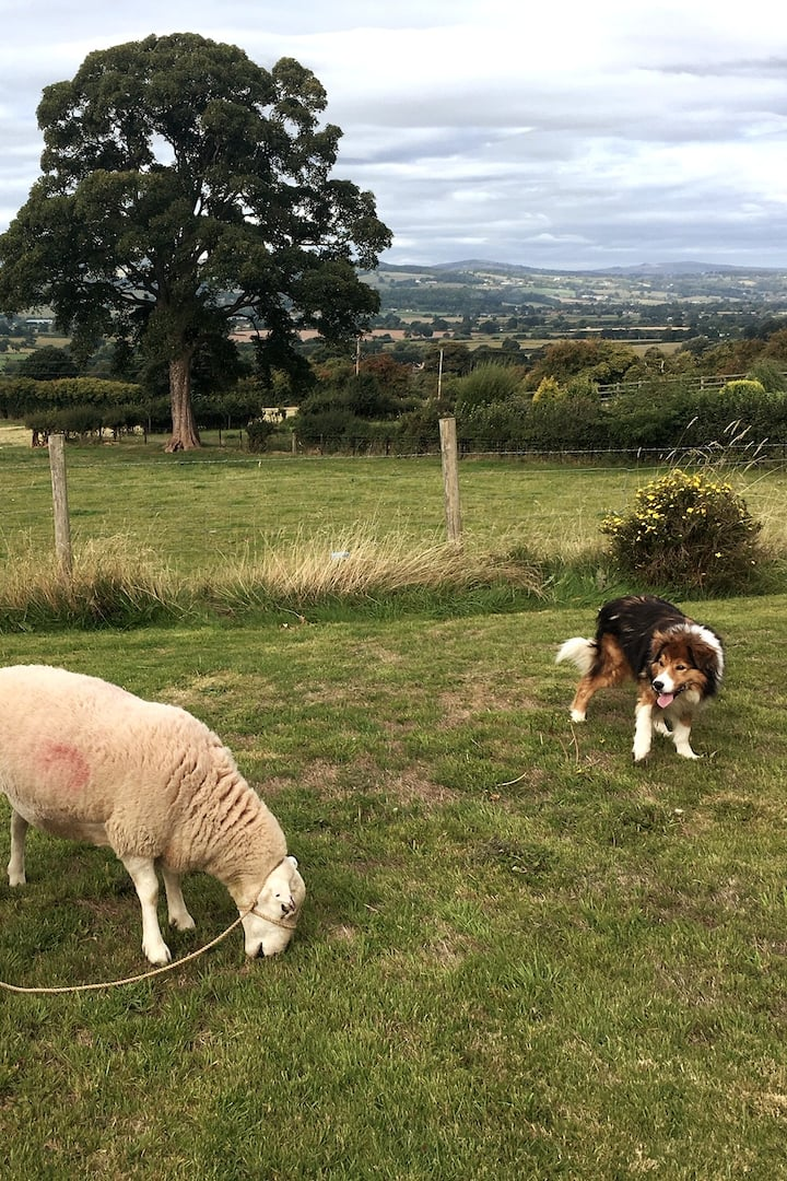 Dyfi is keeping an eye on the sheep