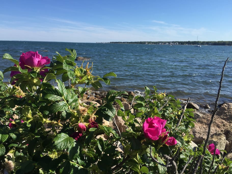 The beach roses smell heavenly.