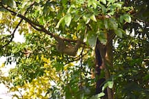 Another three-toed Sloth seen in a tree out over the rainforest canopy.