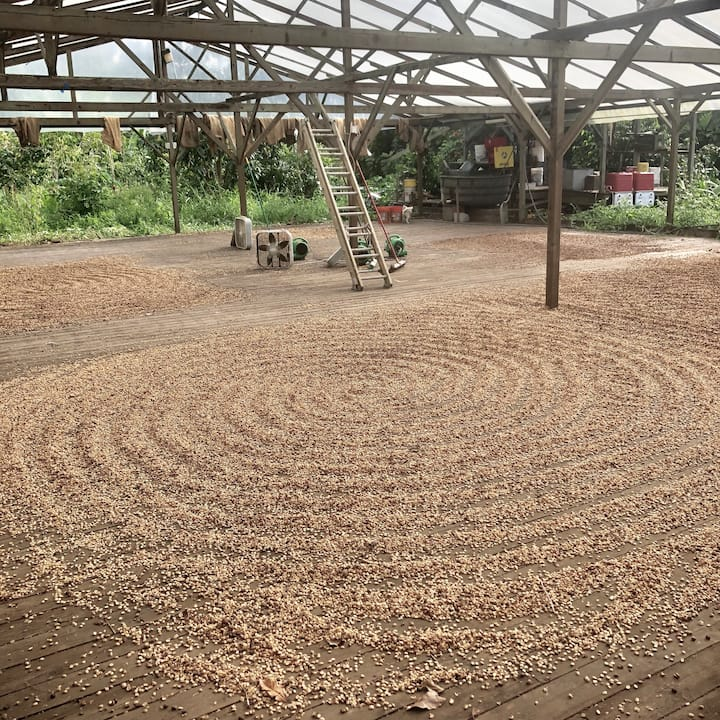The drying deck with sun-drying coffee