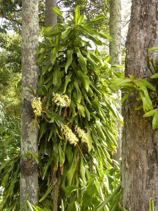 Bush orchids