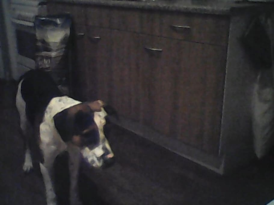 The dog is looking for something.. in my normal kitchen