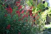 This is part of the garden in October, showing the pineapple sage that grows up to be over 2 meters high.  What an amazing smell