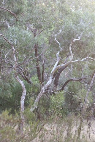 Where the kookaburras like to sing, or rather laugh!