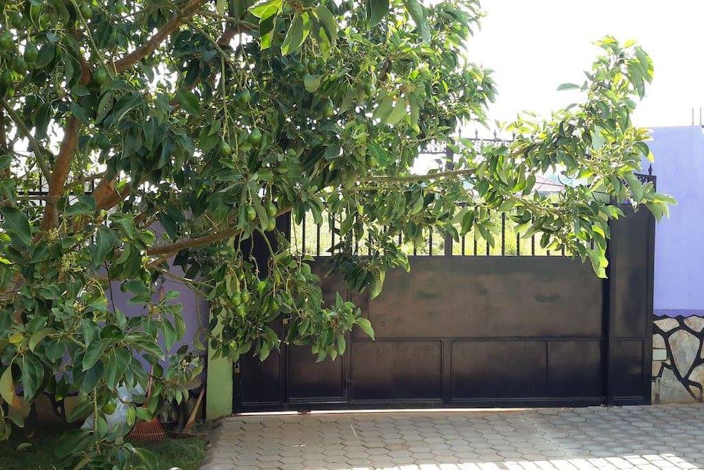 Entrance and avocado tree