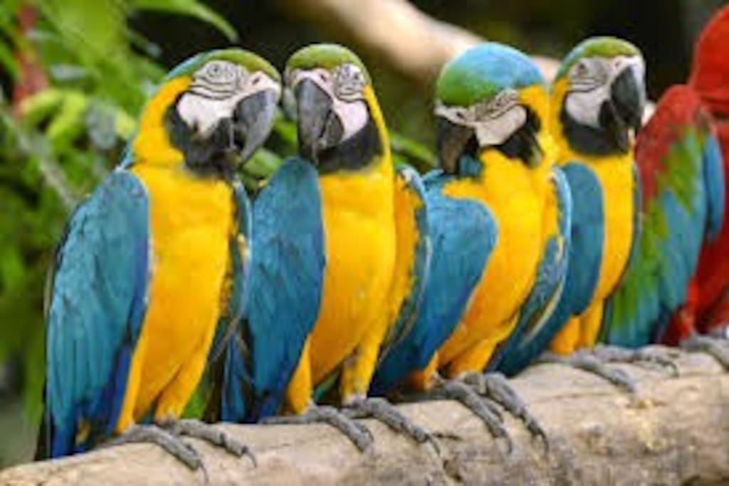 There were about 26 Macaws in the tree right next to the table where I was eating.