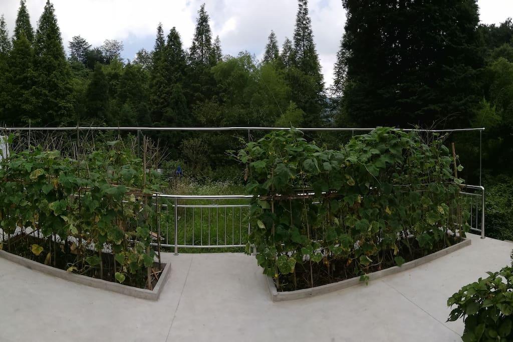 庭院深深,黄瓜挂满枝