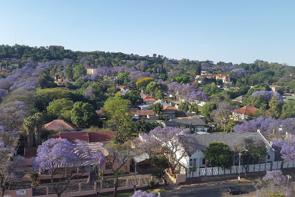 Jacaranda trees in blossom (September)