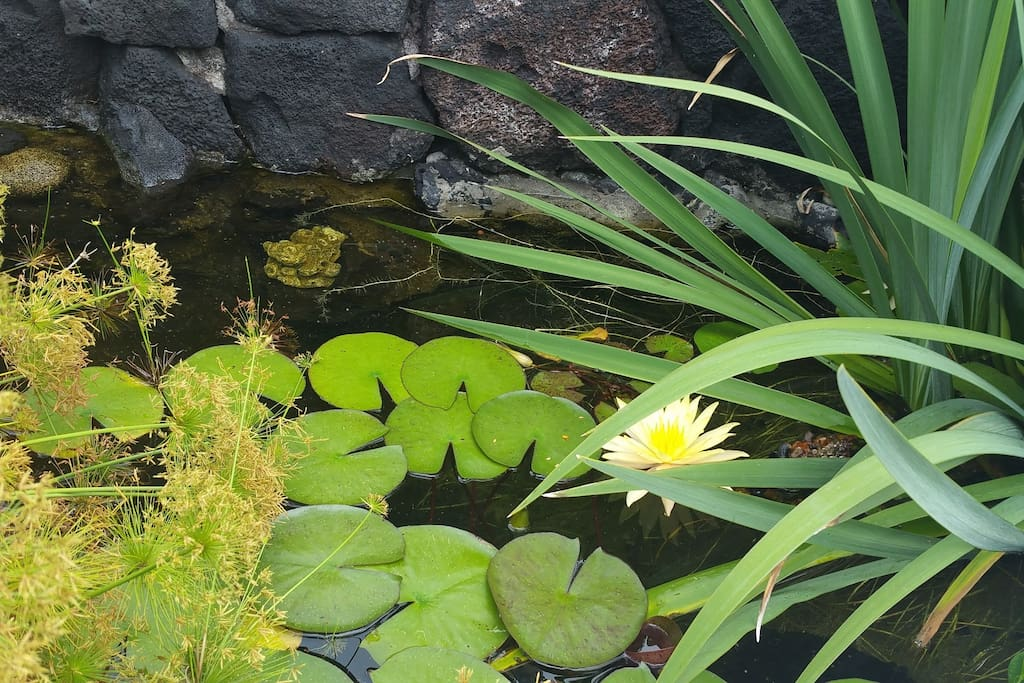 Water pond with fish and lily