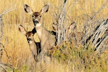 The mule deer, native to CO, is named for its ears which are large like those of a mule. Book your Idaho Springs vacation today!