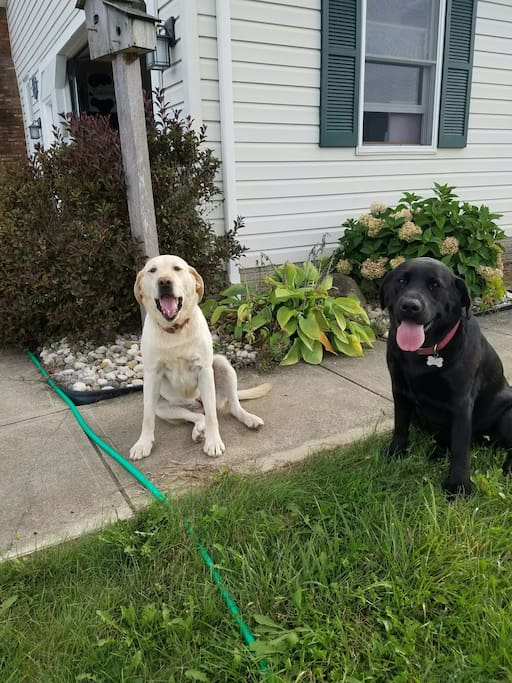 Meet our friendly Labs, Melody and Aria.