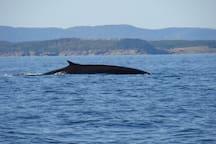 Baleine bleue.