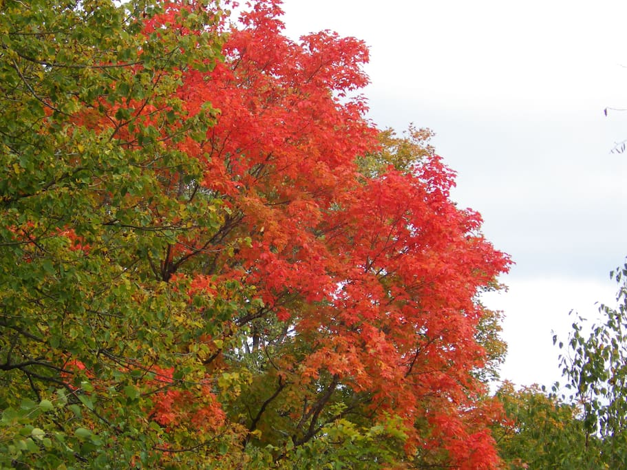 Fall in the Highlands is spectacular and the maples surround the property.