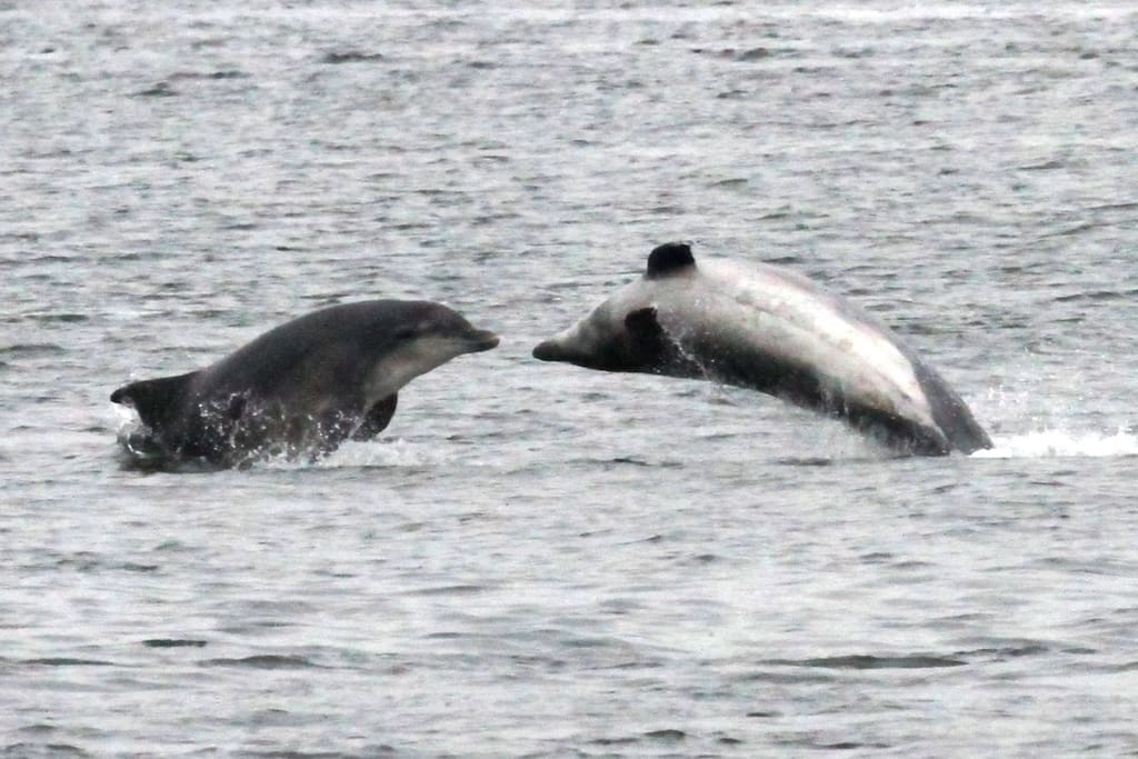 Dolphins in the Inner Moray Firth