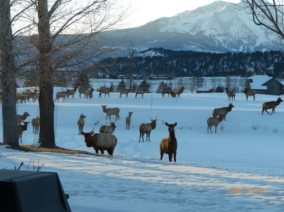 Elk on Pond in Winter