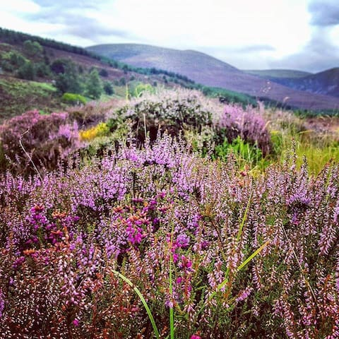 Newtonmore hills full of blooming heather in the summertime.