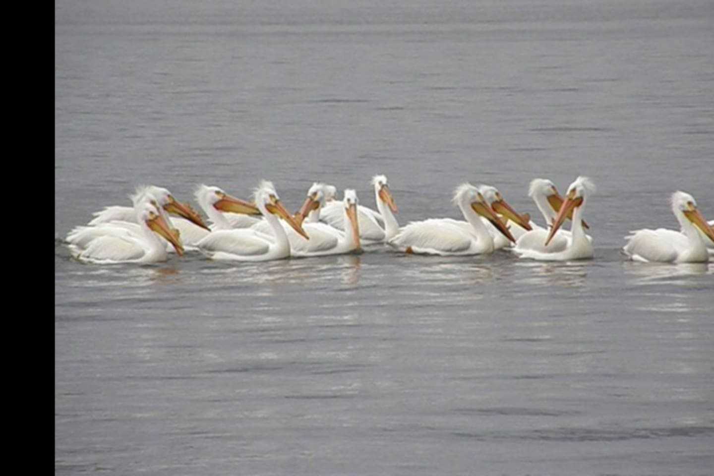 White pelicans in Spring