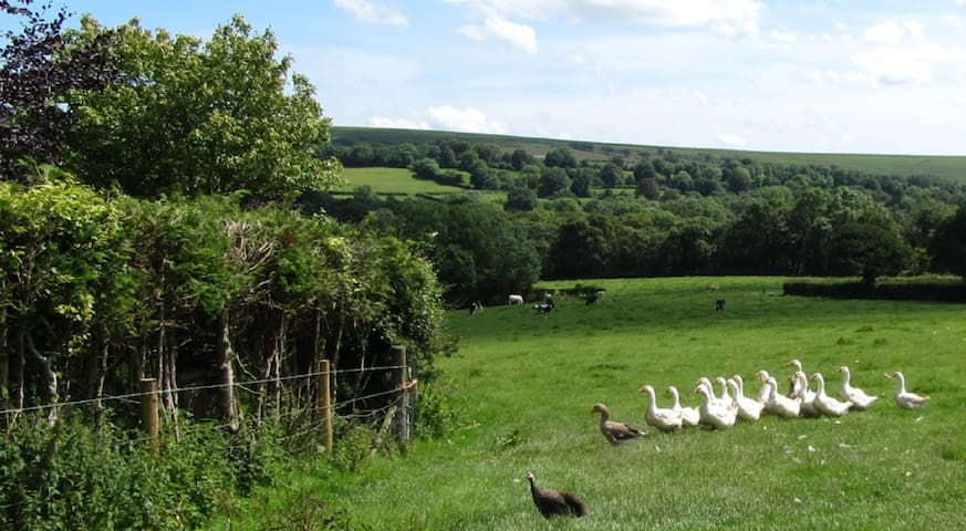 Our cows, geese, ducks and guinea fowl.