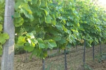 Vines (soon will be the vintage- begining of September)