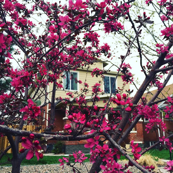 Blooming trees in front of the house