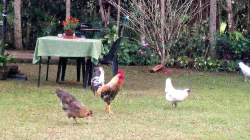 Free roaming chickens, hello!