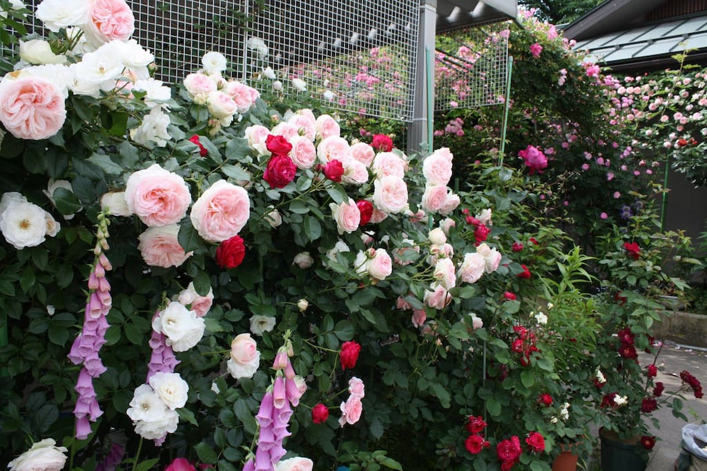 You can see many roses on May and June