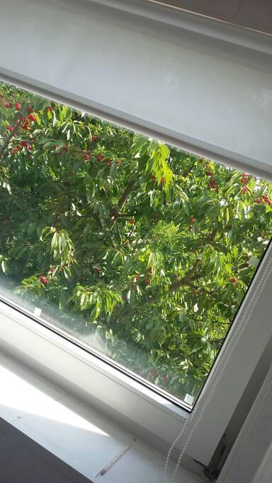 Kirschen direkt vor dem Fenster