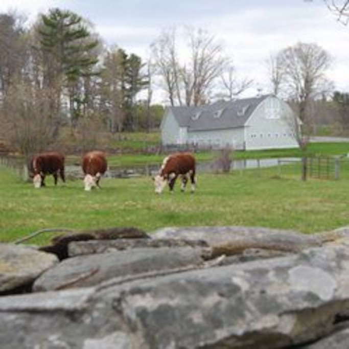 Our Hereford Cattle enjoying the grass in early spring.