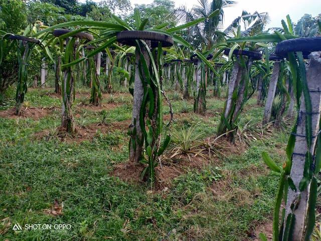 Dragon Fruit mini farm