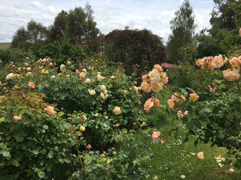 A section of the rose garden