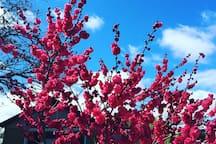 As Cherry Season nears