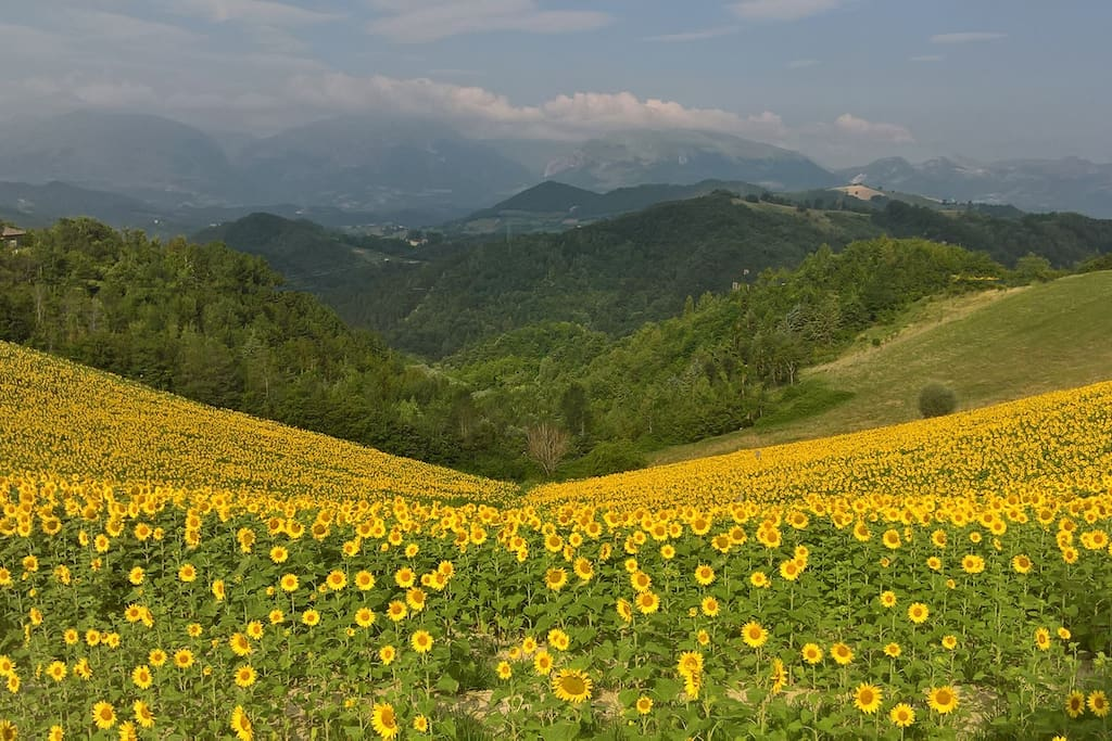 Many fields of sunflowers to be seen during Summer