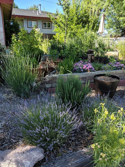 Front yard grows rosemary, lavender and flowers for locally grown, pesticide free, flower business.