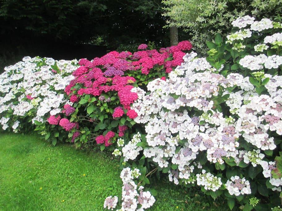 quelques hortensias en fleur