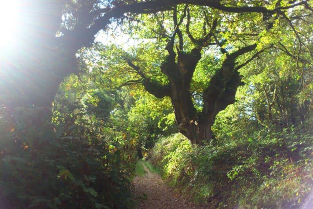 Un bello camino te llevará a la profundidad del bosque de Fervenza, flanqueado por robles de más de 300 años.
