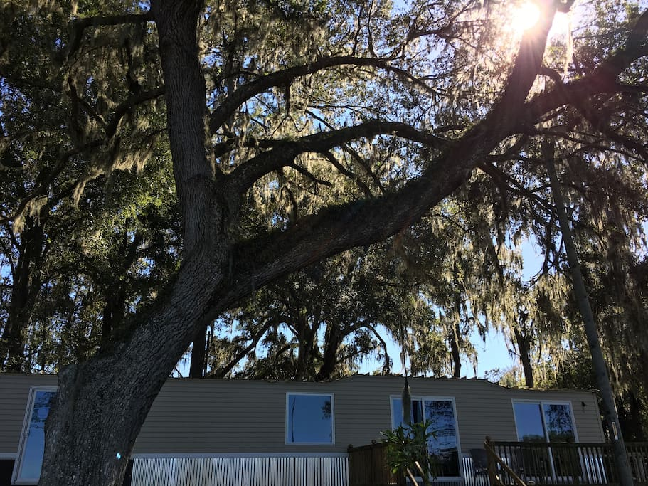 Very large canopy live oak tree shading the yard to the lake.